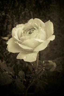 David Austin English Rose