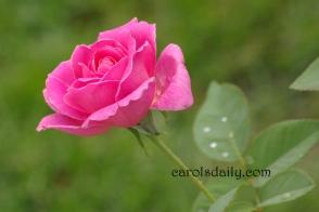 Elizabeth Rose