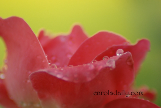 Water drops on rose