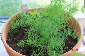 Fern Leaf Dillweed