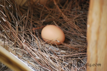 Fresh Egg in Nesting Box