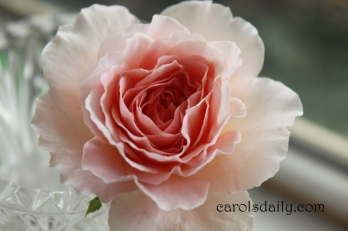 Abraham Darby English Rose