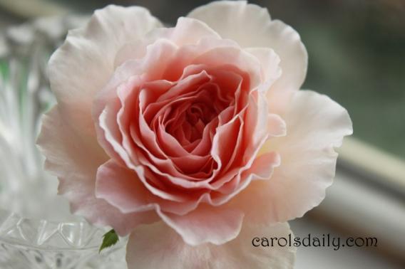 Abraham Darby English Rose