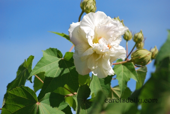 confederate-rose-white