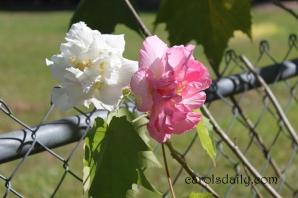 confederate-rose